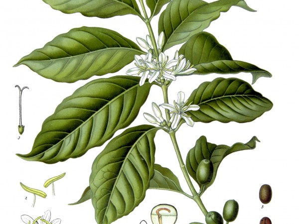 Illustration of Coffea arabica plant and seeds - Coffee perspective